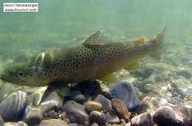 pictures of a here s an post release picture of a 15 brown trout i