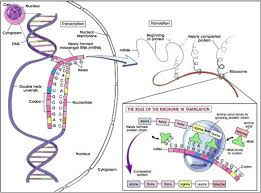 gene transcription translation and protein synthesis biology