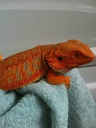 red baby bearded dragon cannock staffordshire pets4homes