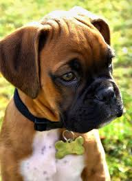 boxer dog 10 months best 25 boxer breed ideas on pinterest boxer pup baby boxer