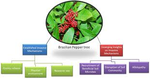brazil native plants frontiers emerging insights on brazilian pepper tree schinus