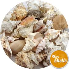 where to buy seashells feature shells online shells buy sea shells onlineshells co uk
