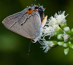 native plants and wildlife gardens kentucky native plant and wildlife gardening for butterflies the