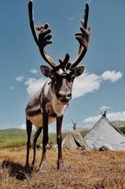 best 25 reindeer herders ideas only on pinterest norway