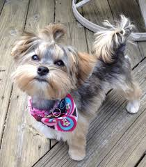 haircut for morkies pictures on morkie haircuts styles shoulder length hairstyles
