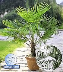 palme f r balkon winterharte pflanzen fã r balkon 100 images stauden im herbst