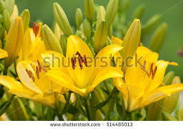 yellow lilies yellow lilies stock images royalty free images vectors