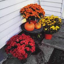 fall mums your ultimate care guide