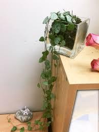 succulent house chain of hearts succulent cactus house plant in glass pvc pot