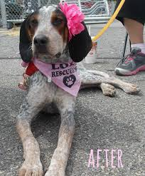 bluetick vs english coonhound create teach and share operation underdog