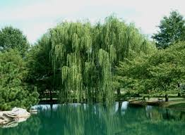 weeping willow trees weeping willow trees get their name