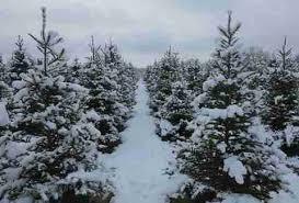 best christmas tree farms near chicago thrillist