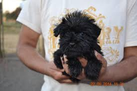 affenpinscher puppies cost miniature schnoodle puppies for sale