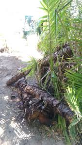 can i use a palm tree log for hugelkultur gardening