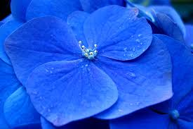blue hydrangea flower nicko u0027s big picture