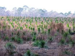 planting native grasses restoring longleaf pine on agricultural land benefits wildlife
