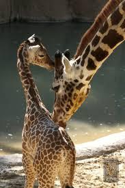 Giraffe Floor L Giraffe Zooborns