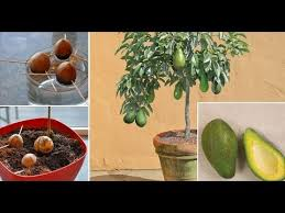 stop buying avocados you can grow an avocado tree in a small pot