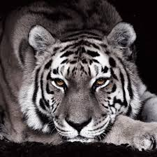 glasbilder 30x30 amazon de eurographics dg gle1101 glasbild deco glass tigra negra