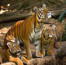 tiger and cubs photo sandi whitteker photos at pbase com
