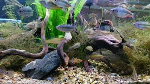 australian native aquatic plants 4ft native fish tank all fish caught locally in the brisbane