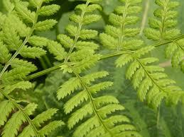 native ohio plants ohio weedguide