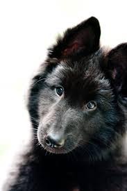 belgian sheepdog litters ch la neige u0027s walkin u0027 the red carpet u2014 la neige legacy belgians