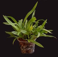 oncidium orchid orchid identification