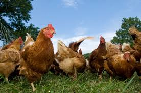Count Your Chickens Before They Hatch Meaning How To Find Free Livestock For Your Homestead The Grid