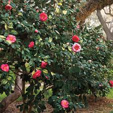 small ornamental trees horticare landscape company
