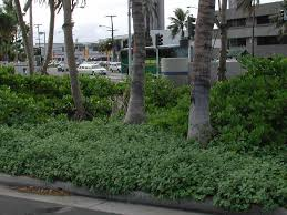 native hawaiian plants native hawaiian plants as ground u2013 covers ground covers part 3