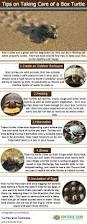 best 25 box turtles ideas on pinterest turtle enclosure turtle