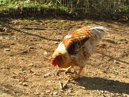 buff laced wyandotte rooster backyard chickens