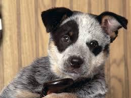 australian shepherd 2015 australian cattle dog wallpapers hd download