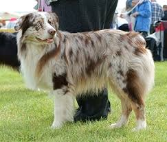 australian shepherd dachshund merle the m series