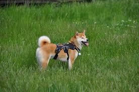 Comfort Flex Dog Harness Everyday Harness The Shiba Inu Forum