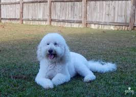 bichon frise intelligence intelligence of the goldendoodle blogging from a z groovy