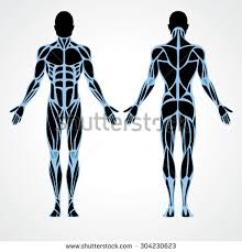 Anatomy Of Body Muscles Anatomy Stock Images Royalty Free Images U0026 Vectors Shutterstock