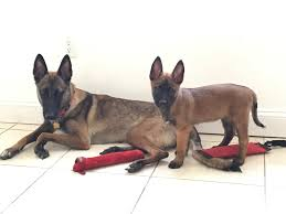 belgian malinois size at 6 months how to avoid separation anxiety with your dog malinois usa