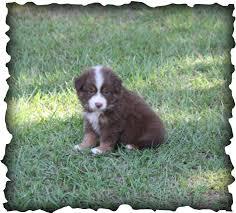 australian shepherd 7 weeks past puppies j u0026 j mini aussies