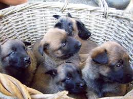 belgian shepherd kennels belgian malinois best working dogs