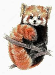 color sketch red panda on the tree on white background