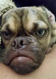 Grumpy Face Meme - grumpy dog hates you even more than grumpy cat grumpy dog dog and