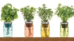 herb 9 herbs you can grow in water over and over again for endless
