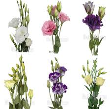 lisianthus flower buy bulk lisianthus flower purple pink lavender white