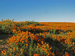 top 10 locations of california poppy meadows and fields