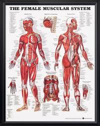Human Anatomy Anterior Muscular System Female Anatomy Poster Muscular System Female