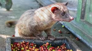 the world s most expensive coffee made from poop of civet cat is