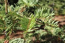 u cut fresh trees tree farm