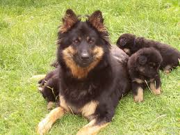 belgian sheepdog litters bohemian shepherd puppies puppy dog gallery